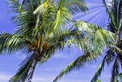 Palmier royal cubain - parc national de Peninsula de Zapata/marais de Zapata, Cuba Photos libres de droits