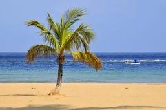 Palmier sur la plage chez Tenerife Photographie stock libre de droits