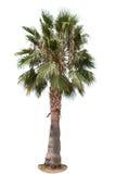 palmier Tunisie de datte de l'Afrique Images libres de droits
