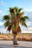 Palmier vert jaunâtre sur un fond de ciel bleu avec des nuages en Espagne, Valence Photo stock