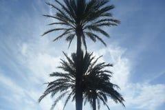 Palmieri de las palmeras Imagenes de archivo