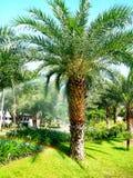 Palmiers à huile photographie stock libre de droits