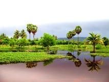 Palmiers à sucre Images stock