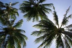 Palmiers Image libre de droits