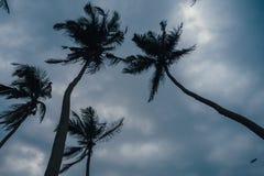 Palmiers avec des noix de coco Sri Lanka Photos stock
