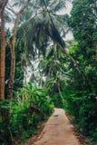 Palmiers avec des noix de coco Sri Lanka Image stock