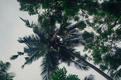Palmiers avec des noix de coco Sri Lanka Photos libres de droits