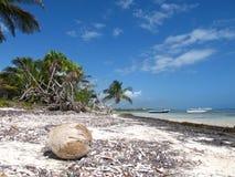 Palmiers avec la noix de coco Photo stock