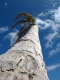 Palmiers avec la noix de coco Image stock