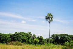 Palmiers avec le ciel bleu Photographie stock