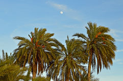 Palmiers avec les dates rouges Images stock