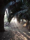 Palmiers coloniaux tropicaux dans l'aube avec la lumière apparaissant avec la végétation verte luxuriante de forêt tropicale et l photographie stock libre de droits