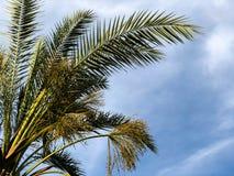 Palmiers contre le ciel bleu, palmiers sur l'arbre de noix de coco tropical de côte, arbre d'été Photos stock
