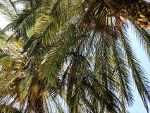 Palmiers contre le ciel bleu, palmiers sur l'arbre de noix de coco tropical de côte, arbre d'été Photo stock