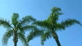 Palmiers contre le ciel bleu banque de vidéos