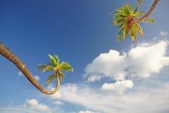 Palmiers contre les nuages blancs pelucheux Photos libres de droits