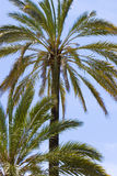 Palmiers contre un ciel bleu images stock