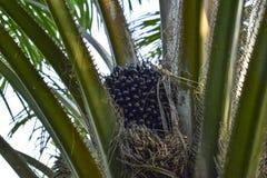 Palmiers d'huile, fruits de palmier à huile Image stock