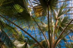 Palmiers dans Howard Peters Rawlings Conservatory, dans le druide Photos libres de droits
