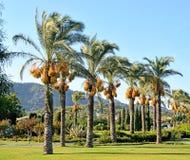 Palmiers dans la conception de paysage de l'espace public Photographie stock libre de droits