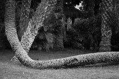 Palmiers dans la ville d'Elche dans Alicante, dans la province elx en Espagne photos stock
