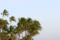 Palmiers dans le vent image stock