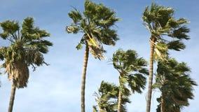 Palmiers dans le vent banque de vidéos