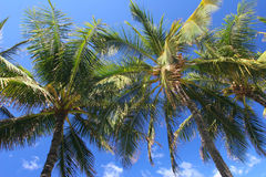 Palmiers dans Maui Photos libres de droits