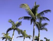 Palmiers dans pi Myers, la Floride photographie stock