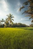 Palmiers dans un domaine vert de riz Images libres de droits
