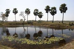 Palmiers dans une rangée par le côté d'un étang dans la zone rurale Image stock