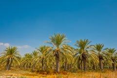Palmiers dattiers Photos stock