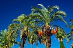 Palmiers dattiers Image libre de droits