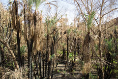 Palmiers dattiers après le feu Image stock