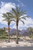 Palmiers dattiers et arbres de floraison de Jacaranda photographie stock