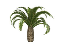 Palmiers dattiers jaunes canari Images stock
