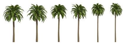 Palmiers dattiers jaunes canari Photos libres de droits