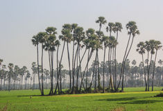 Palmiers de date Photo stock