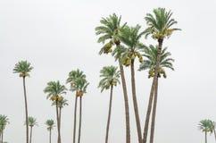 Palmiers de date portant ses fruits Photo stock