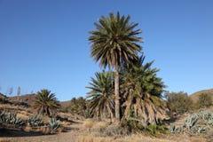 Palmiers de datte images libres de droits