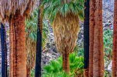 Palmiers de Fam tenant Pround dans le désert image stock