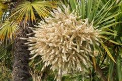 Palmiers de floraison Image stock