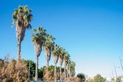 Palmiers de la Californie contre le ciel Photographie stock libre de droits