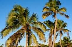 Palmiers de noix de coco, beau fond tropical Images stock
