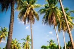 Palmiers de noix de coco contre le ciel bleu Photographie stock
