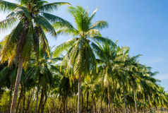 Palmiers de noix de coco Image libre de droits