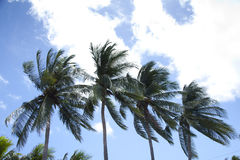 Palmiers de noix de coco photographie stock