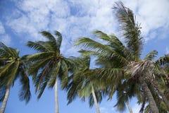 Palmiers de noix de coco photos stock