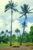 Palmiers de noix de coco en Hawaï (style de vintage) Photos libres de droits