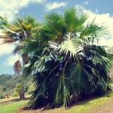 Palmiers de noix de coco en Hawaï (style de vintage) Images libres de droits